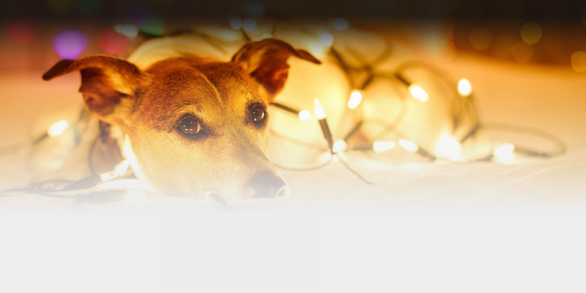 a jack russel terrier lays on the floor wrapped in christmas lights